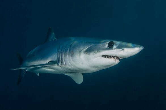 a shark swimming in water