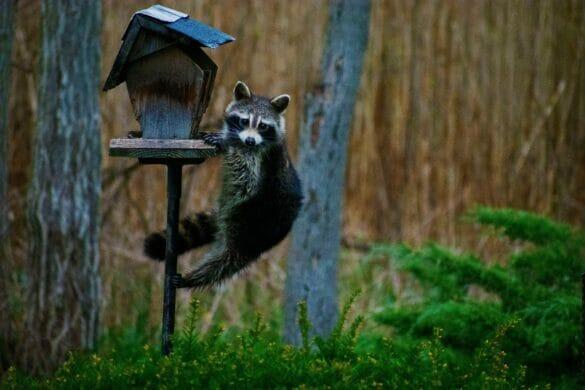 Raccoon climbing up bird feeder