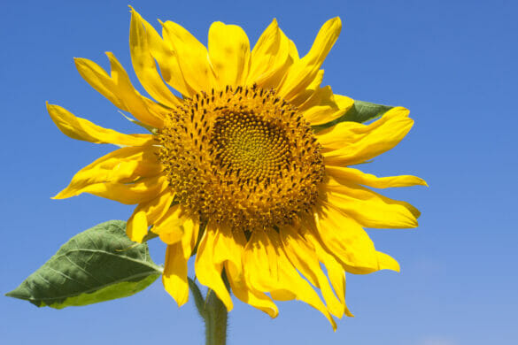 single sunflower on blue cloudless sky in the background